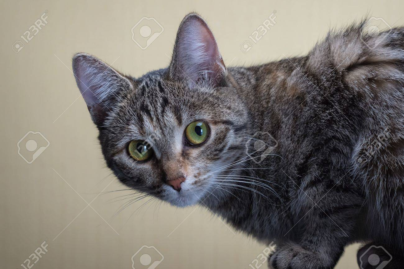 home gray cat sits and stares into the lens Stock Photo - 21451339