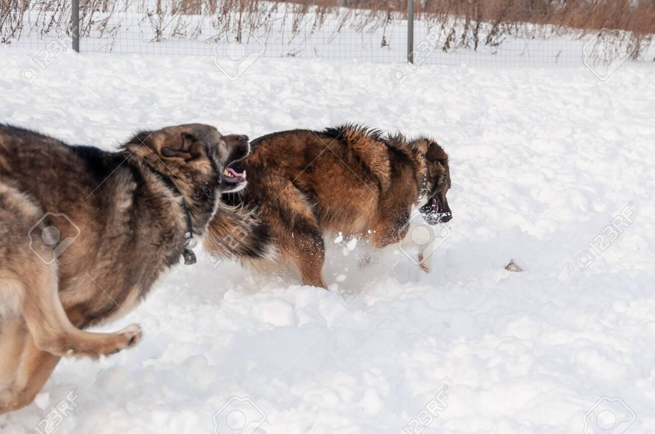 Big Cute And Beautiful Dogs Play Happily With Each Other Run Stock Photo Picture And Royalty Free Image Image 140613053