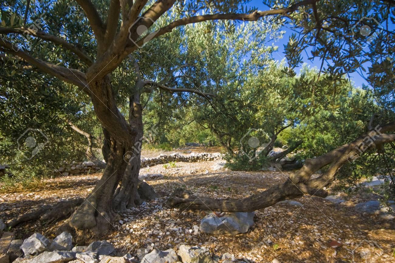 クラパニ島、アドリア海の最小の有人島の古いオリーブの木。 の写真 ...