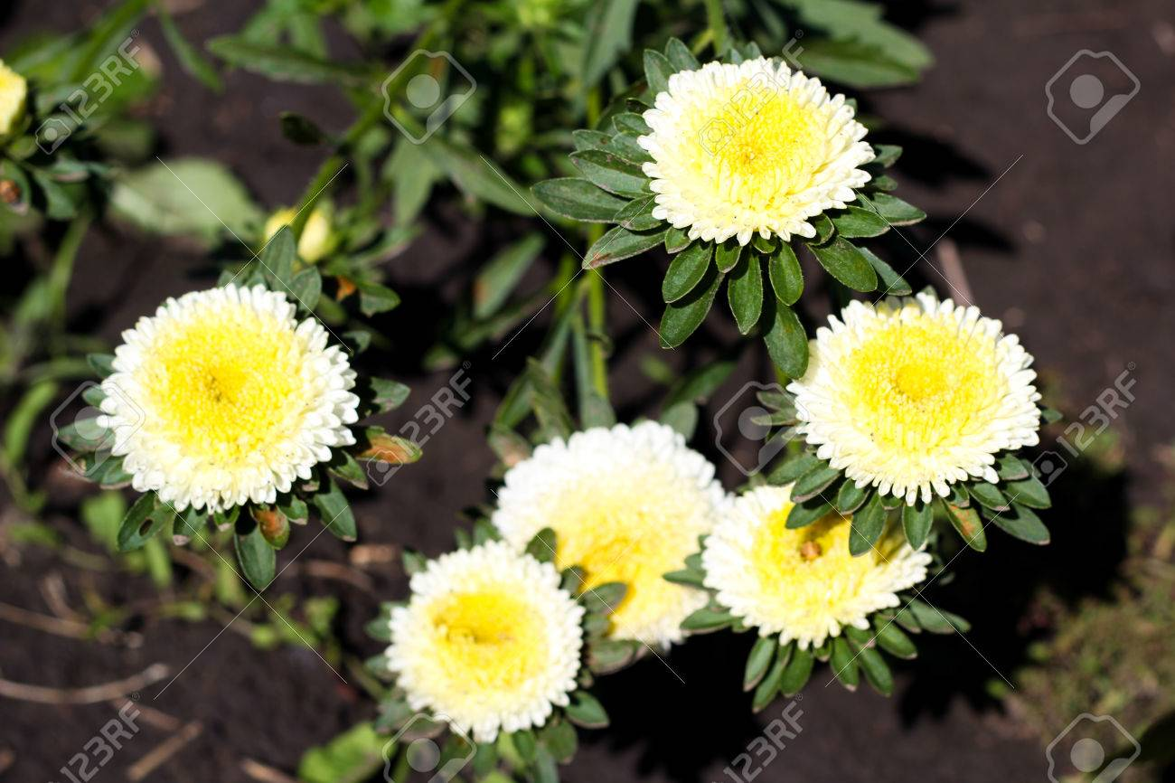 Gentle Flowers Of An Aster Of White Colour With A Yellow Core