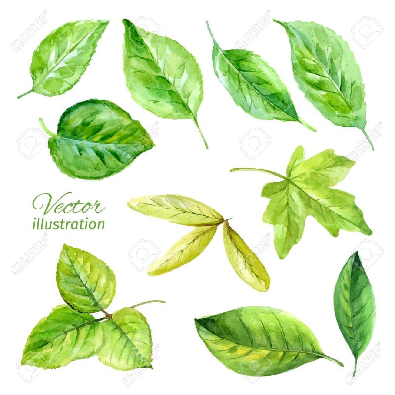 Set of spring leaves watercolor. Vector - 35702000