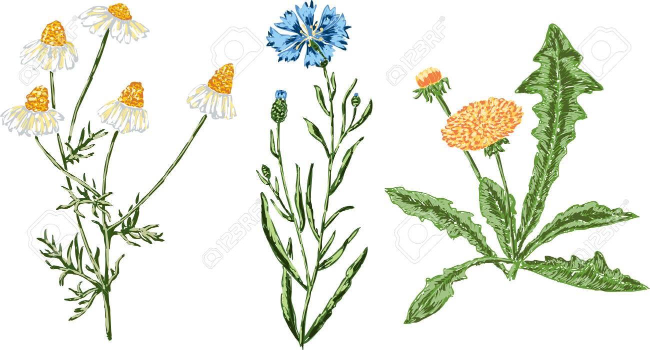 Banque d\u0027images , Dessins vectoriels des différentes fleurs de champ.