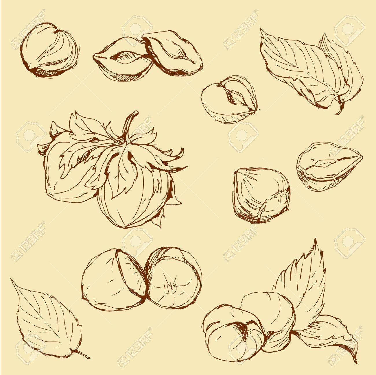 Set of highly detailed hand drawn hazelnuts Stock Vector - 17451753
