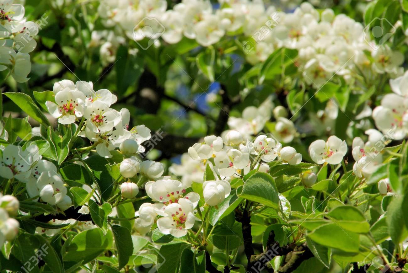 Birnbaumbl�te - flowering of pear tree 39 Stock Photo - 4762979