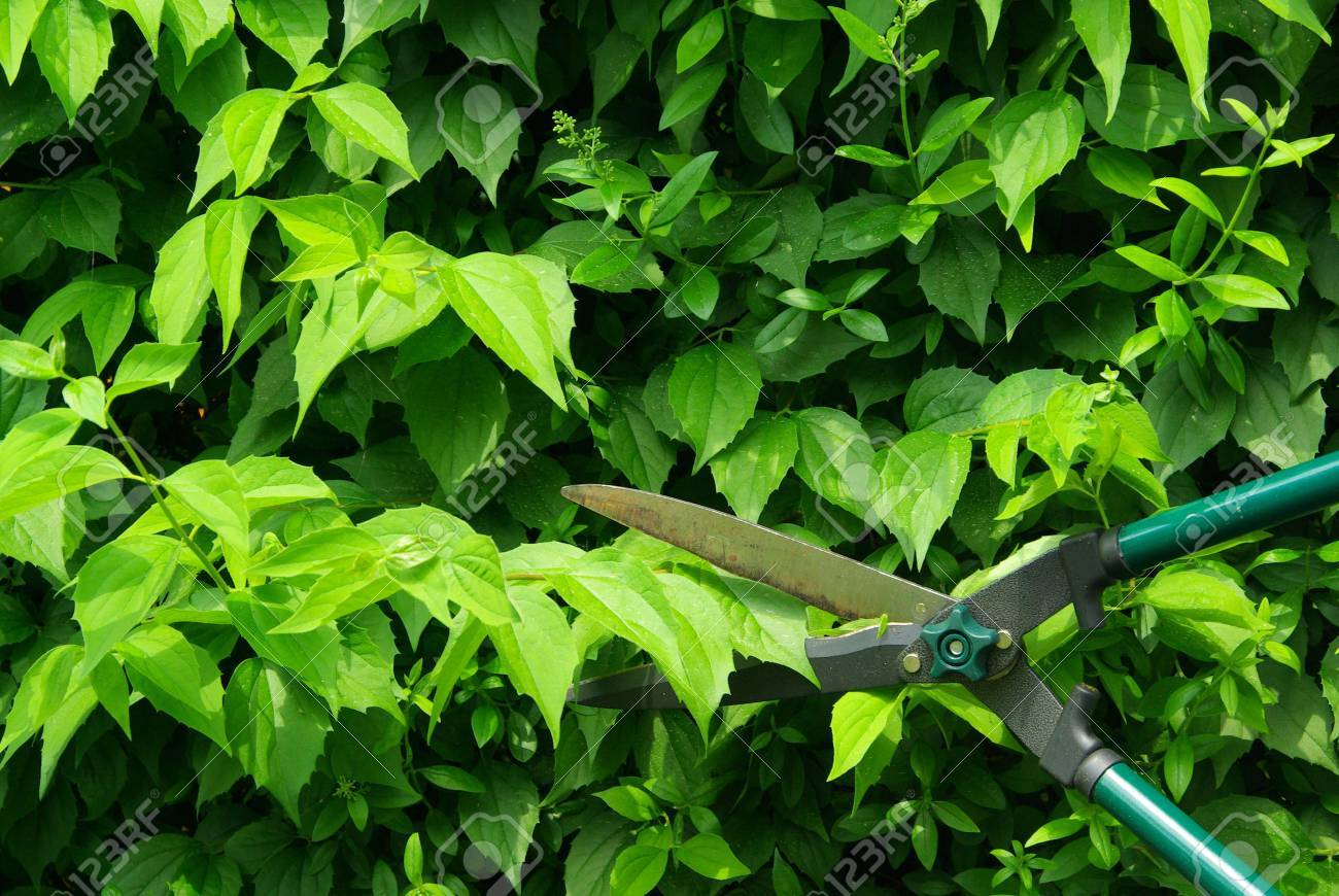 cut a hedge 07 Stock Photo - 6004557