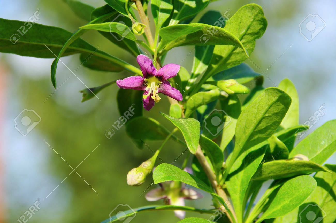 Goji Berry Flower Stock Photo Picture And Royalty Free Image