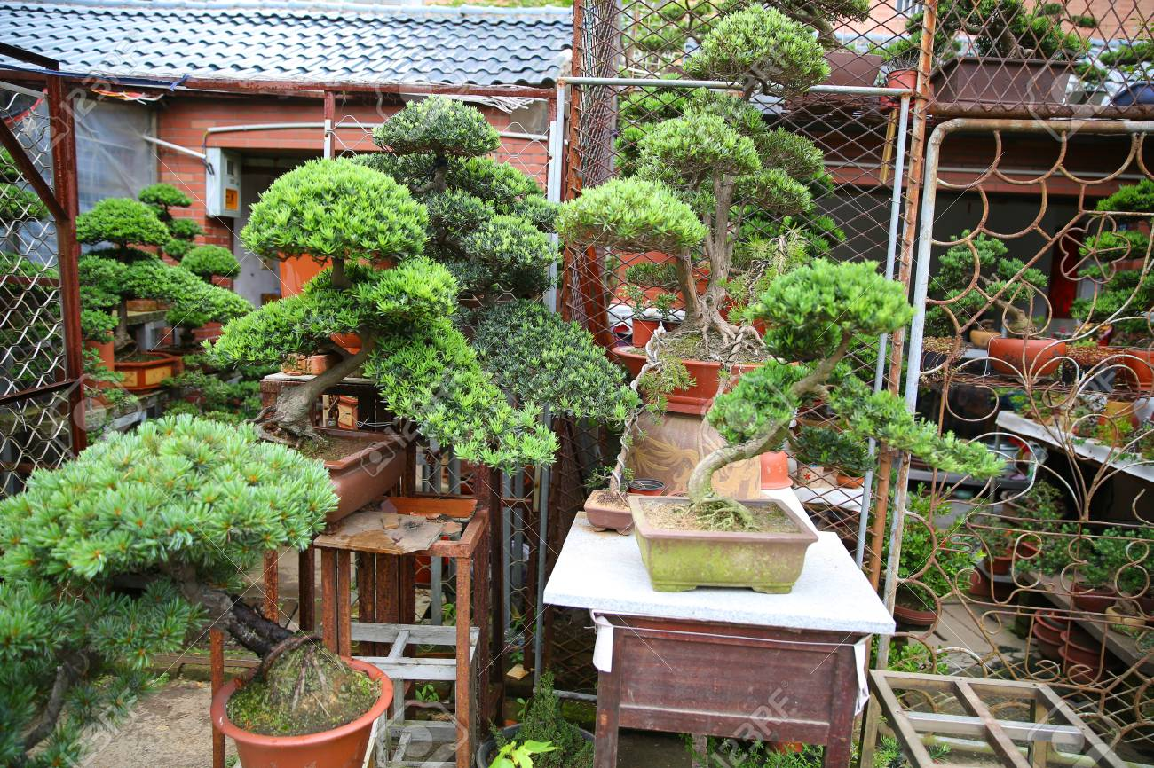 Podocarpus Bonsai Stock Photo Picture And Royalty Free Image Image 110954499