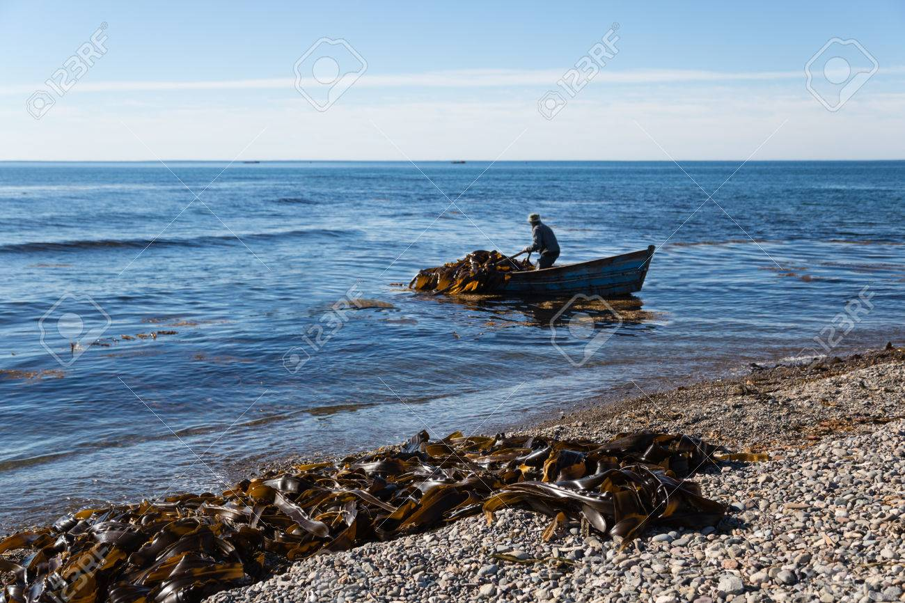 Harvesting of seaweed kelp from a boat out to sea. Russia. Japan sea. Stock Photo - 22632430
