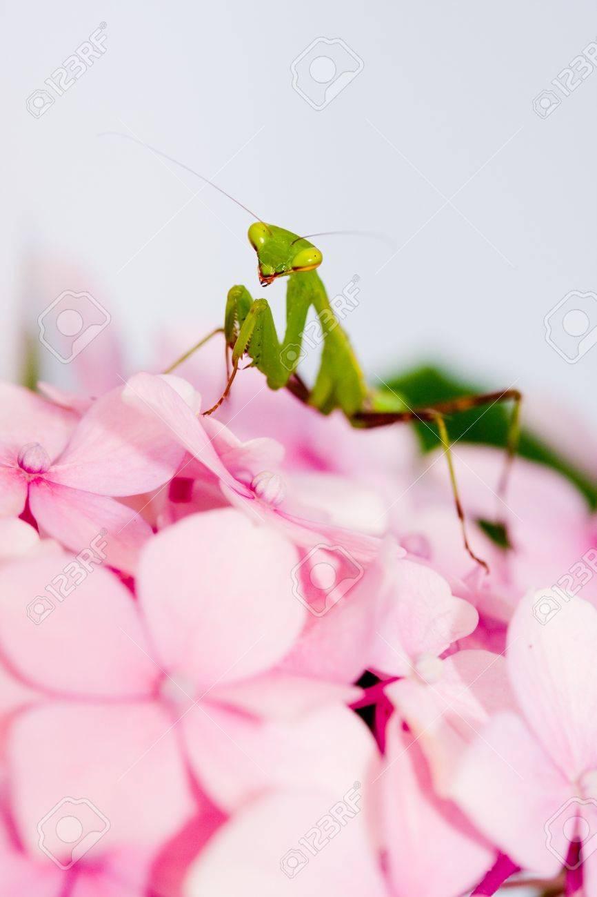 Green Praying Mantis On Pink Flower Against White Background Stock