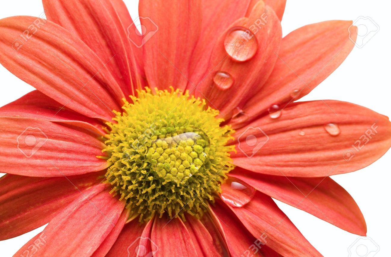 Closeup Of Orangepink Daisy Flower Isolated On White With Water