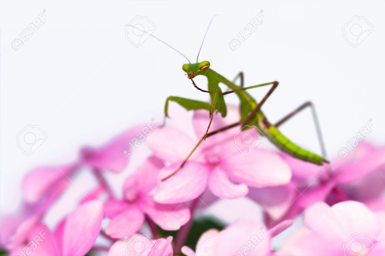 Green praying mantis on a pink flowercleaning its legsideview green praying mantis on a pink flowercleaning its legsideview and very shallow dhlflorist Image collections