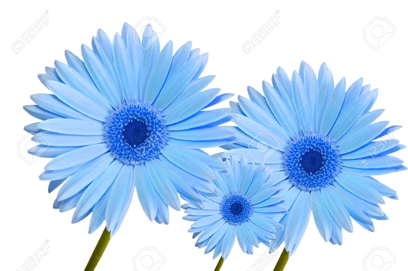 three abstract blue colored gerbera daisy flower isolated on