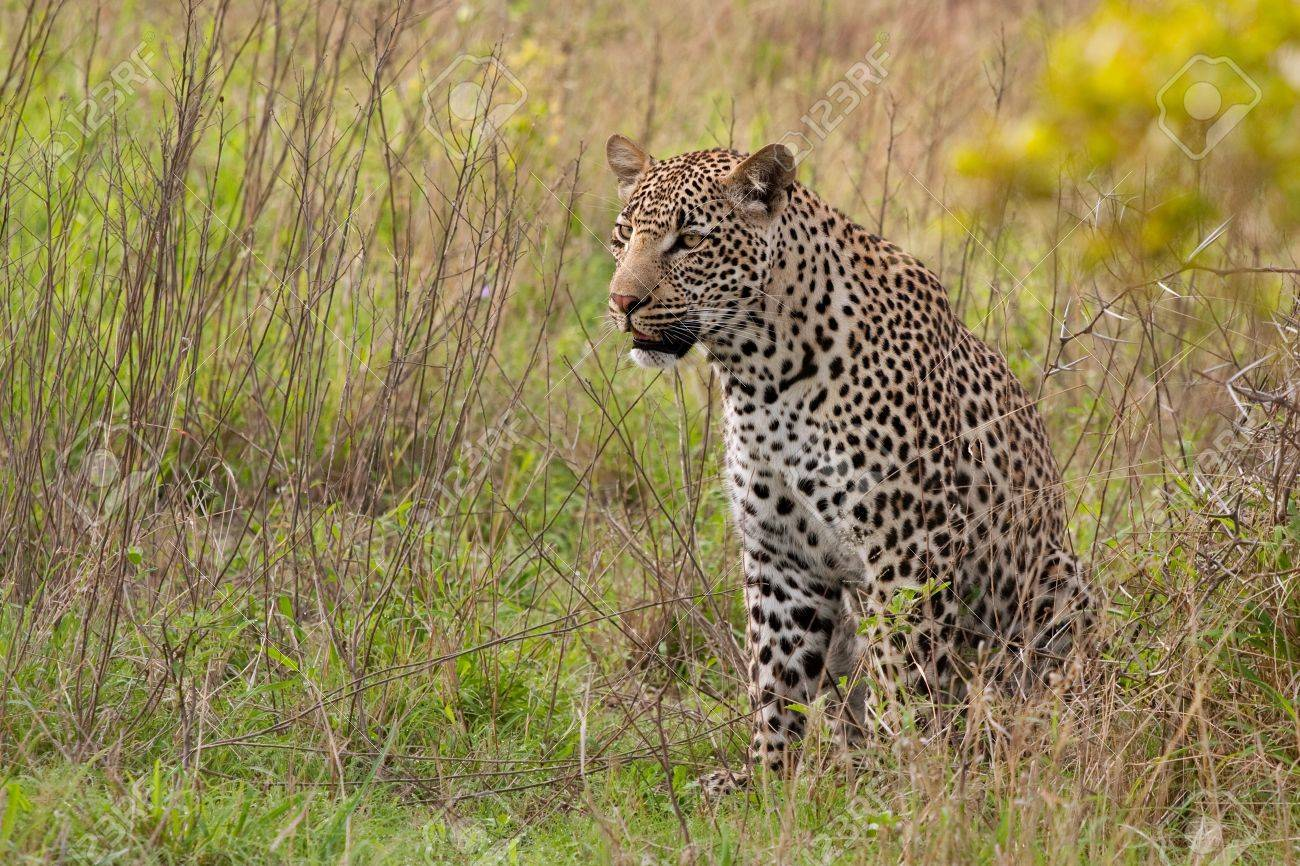 adult male leopard sitting in green grass in Sabi Sand nature reserve, South Africa Stock Photo - 9598200