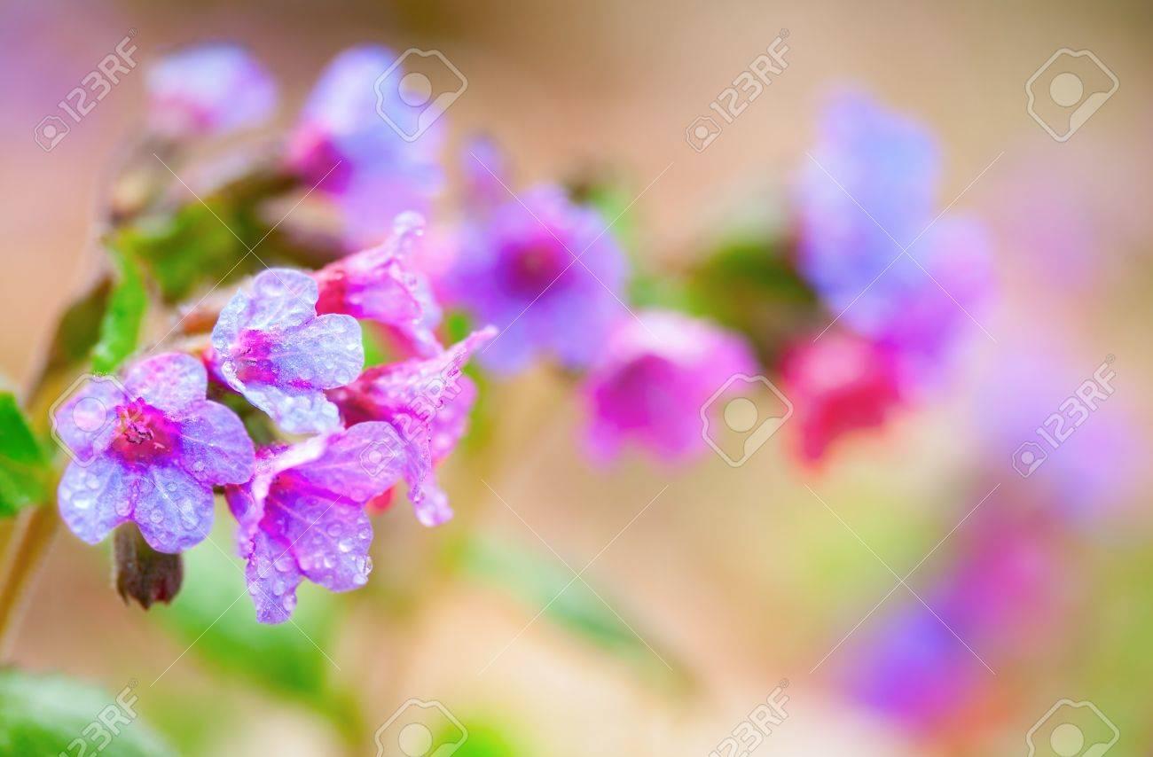 Closeup of pink purple blue spring flowers pulmonaria in canada closeup of pink purple blue spring flowers pulmonaria in canada with water droplets stock mightylinksfo