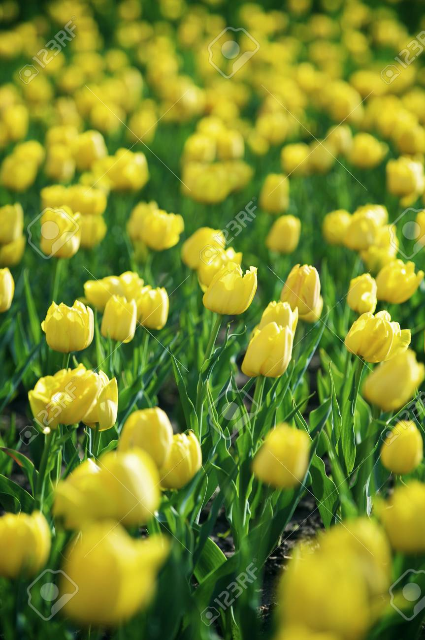 Beautiful spring tulips on a lawn Stock Photo - 4691164