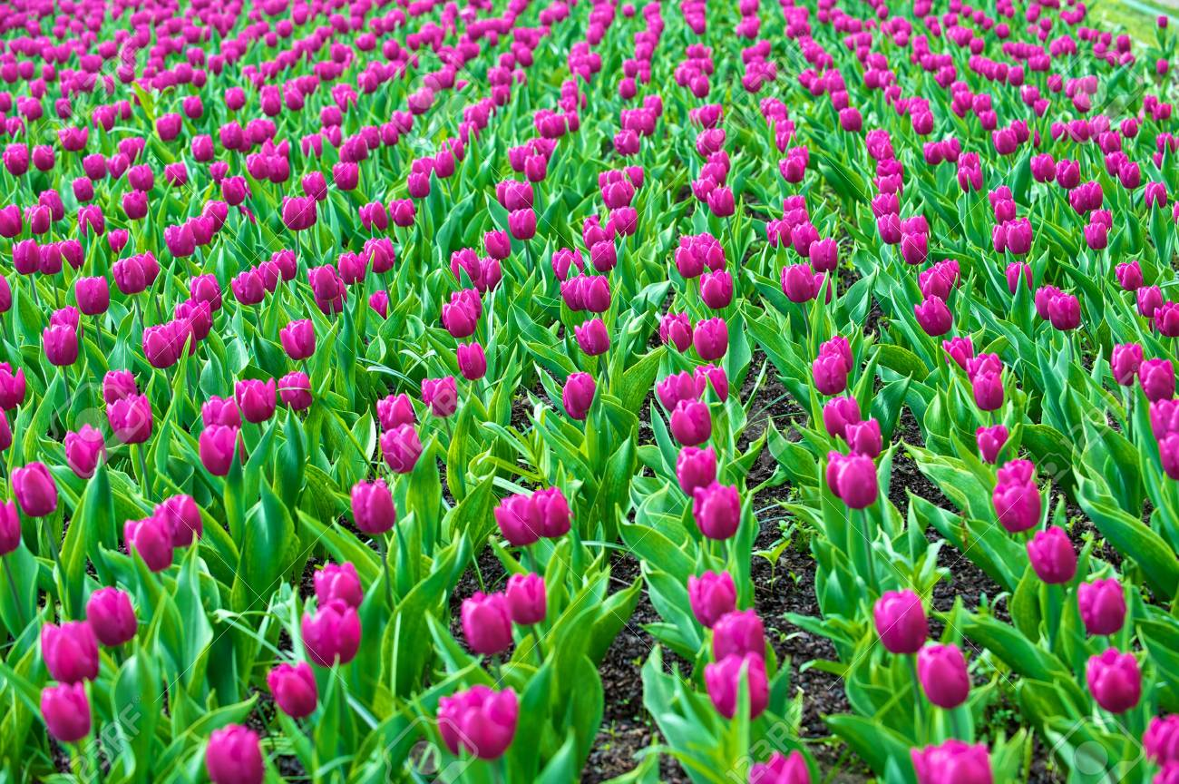 The tulips, blooming in a garden. Colorful flowers Stock Photo - 6562221
