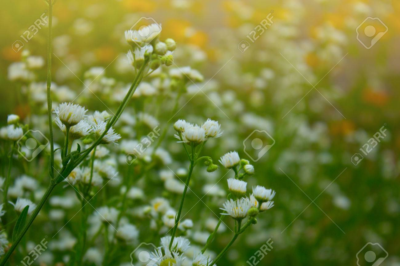 Pretty white flowers blooming in a garden white small chrysanthemum pretty white flowers blooming in a garden white small chrysanthemum mum flower camomile field mightylinksfo