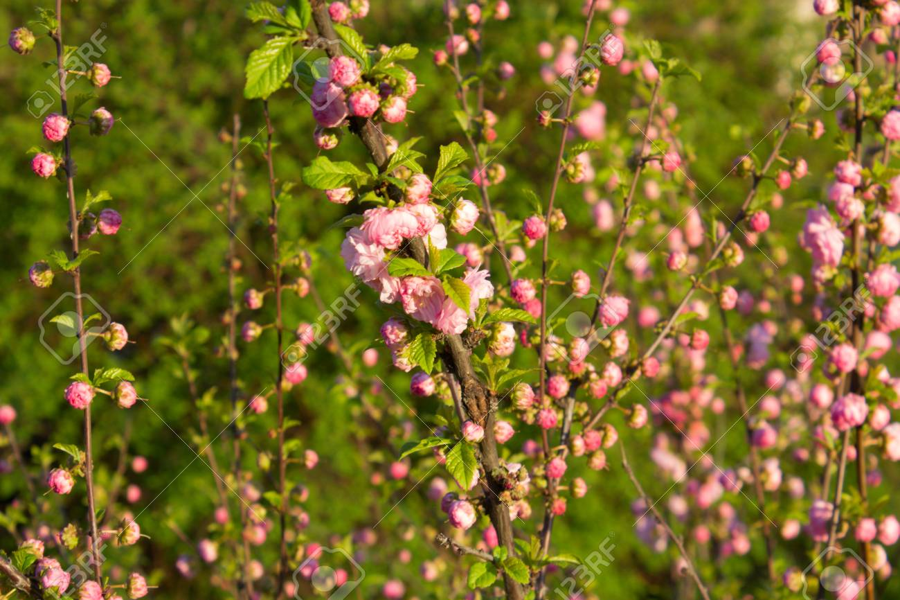 Branch with little pink flowers twig shrub with small pink flowers branch with little pink flowers twig shrub with small pink flowers flowers in the garden at mightylinksfo