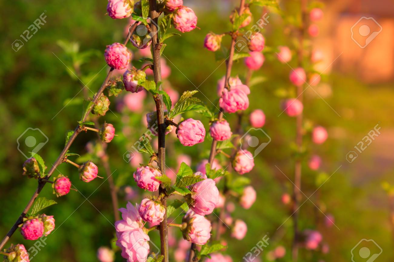 Branch with little pink flowers twig shrub with small pink flowers branch with little pink flowers twig shrub with small pink flowers flowers in the mightylinksfo