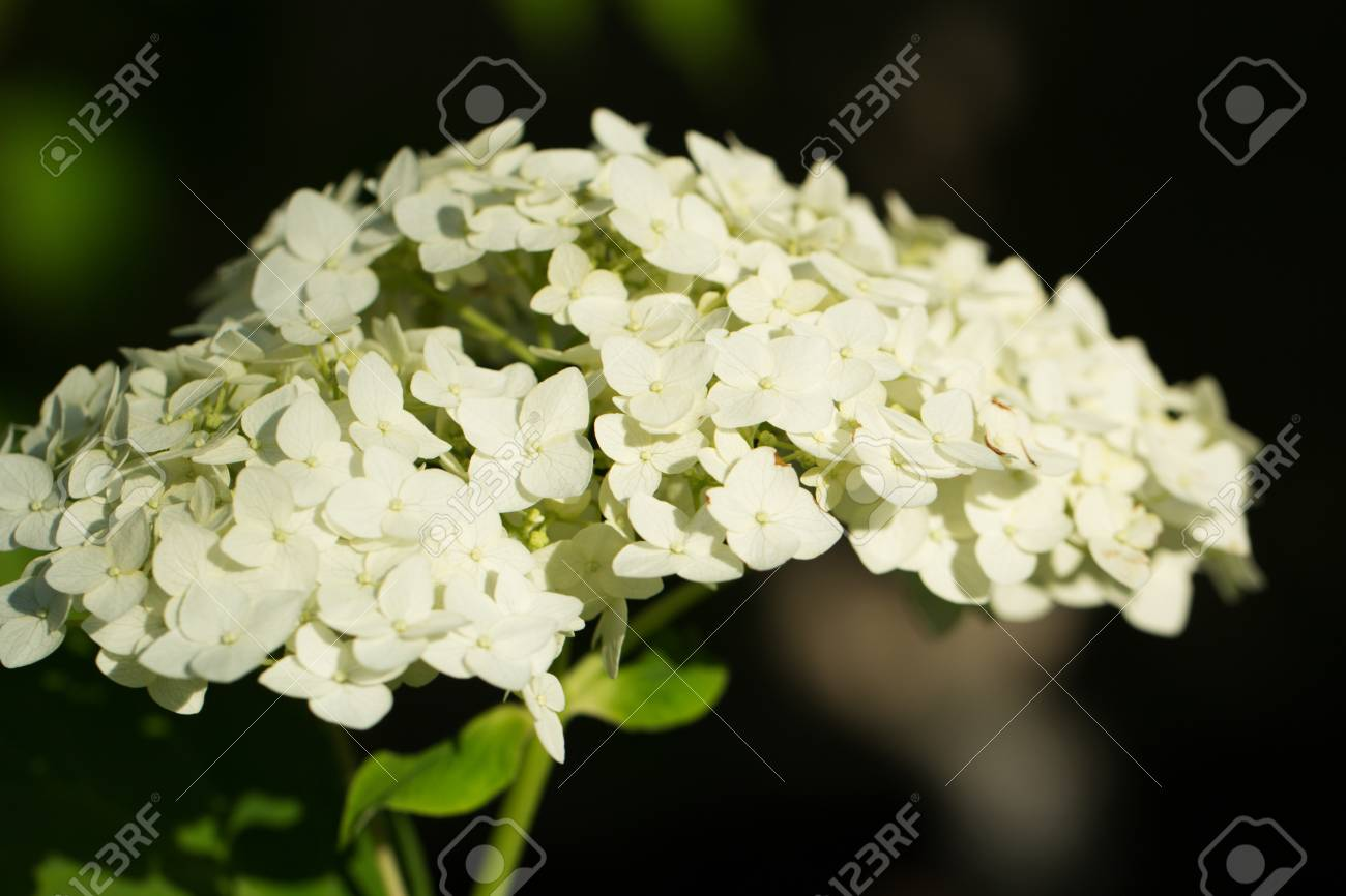 White hydrangea flower shrub or climbing plant with rounded stock stock photo white hydrangea flower shrub or climbing plant with rounded flattened flowering heads of small florets in a summer season garden mightylinksfo