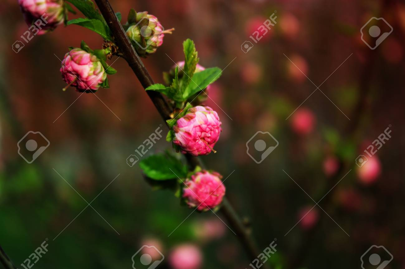 Branch With Little Pink Flowers Twig Shrub With Small Pink Flowers