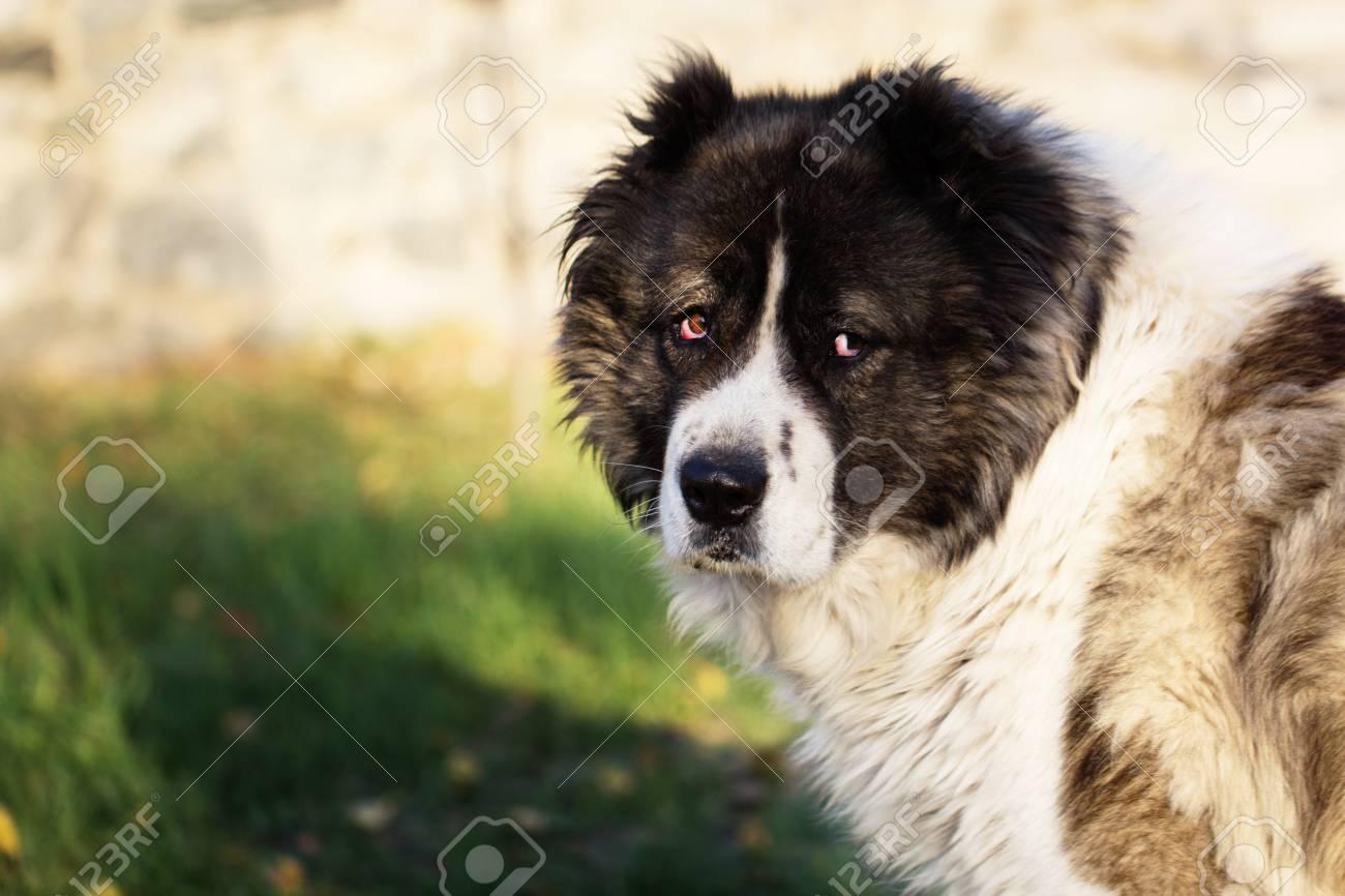 Immagini Stock Cane Pastore Caucasico Fluffy Nel Cortile Pecore