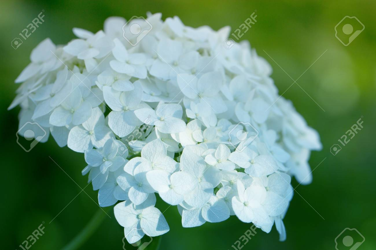White Hydrangea Flower Shrub Or Climbing Plant With Rounded