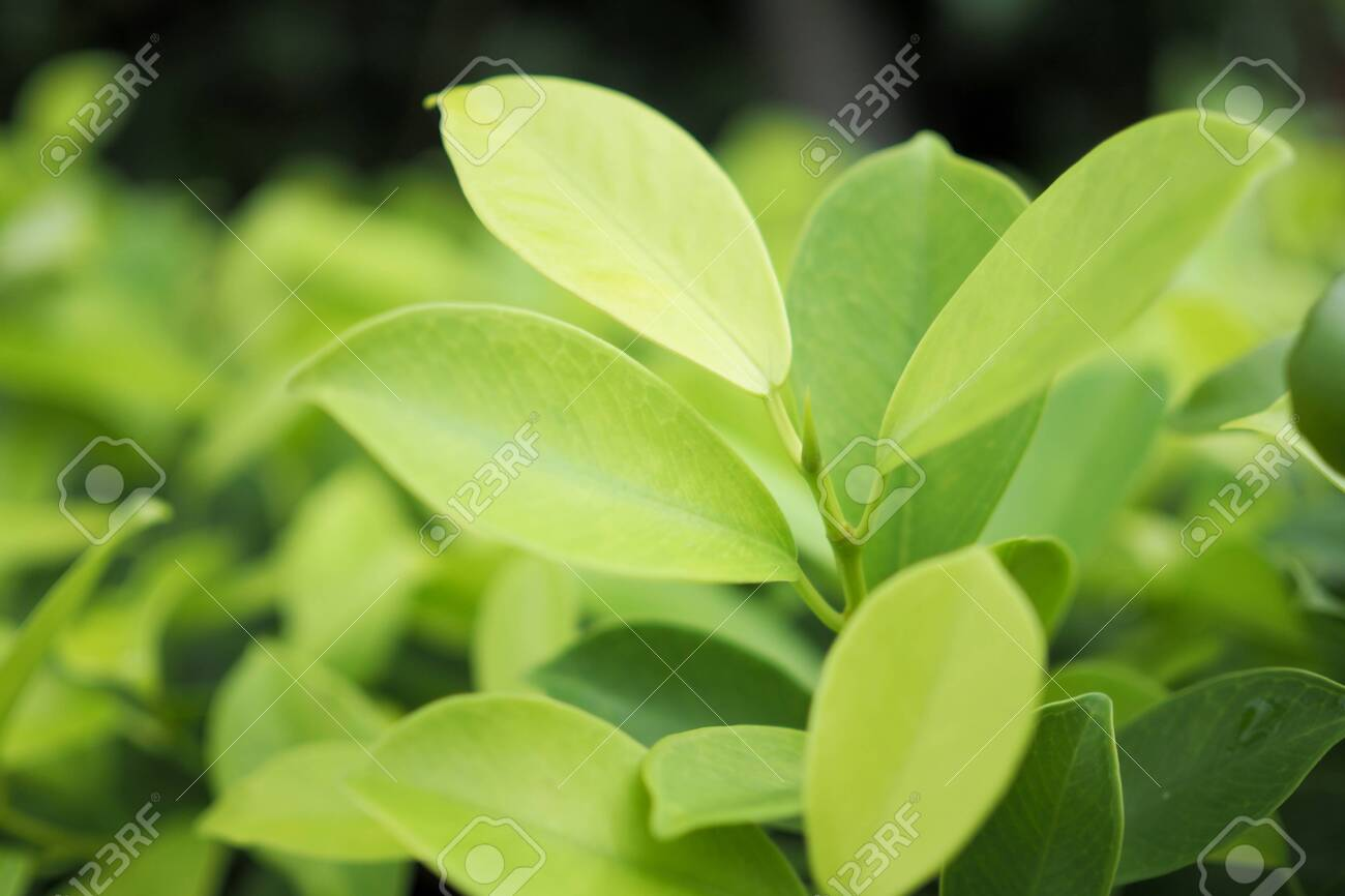 Green leaf nature on greenery for background. soft focus - 144413373