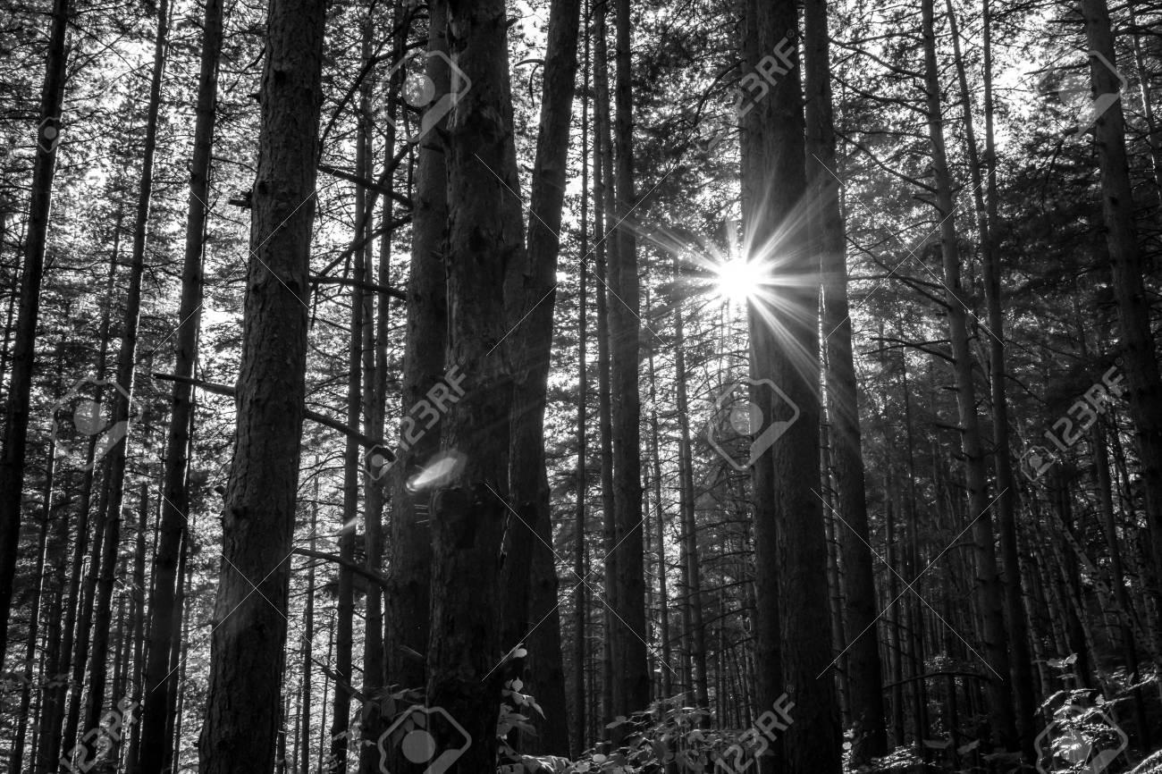 Dark Natural Background Of Black And White Pine Forest Landscape