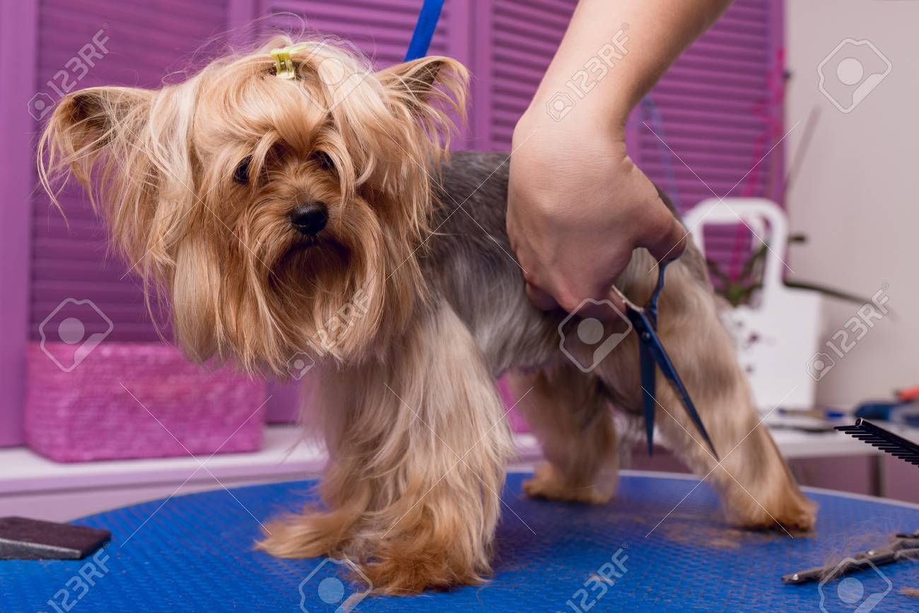 かわいいヨークシャー テリアの犬のはさみカット毛皮でプロのトリマー