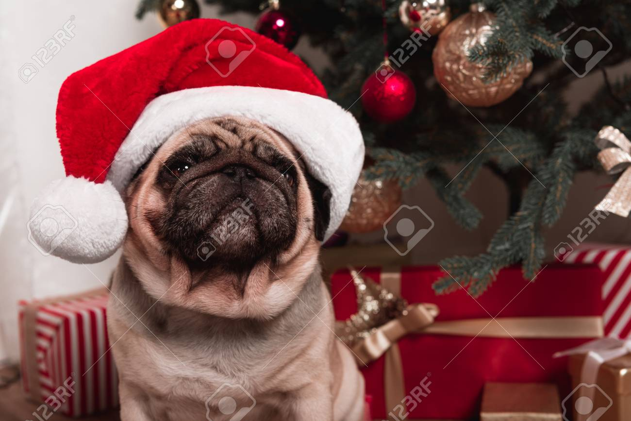 Pug Sitting Under Christmas Tree Stock Photo Picture And Royalty
