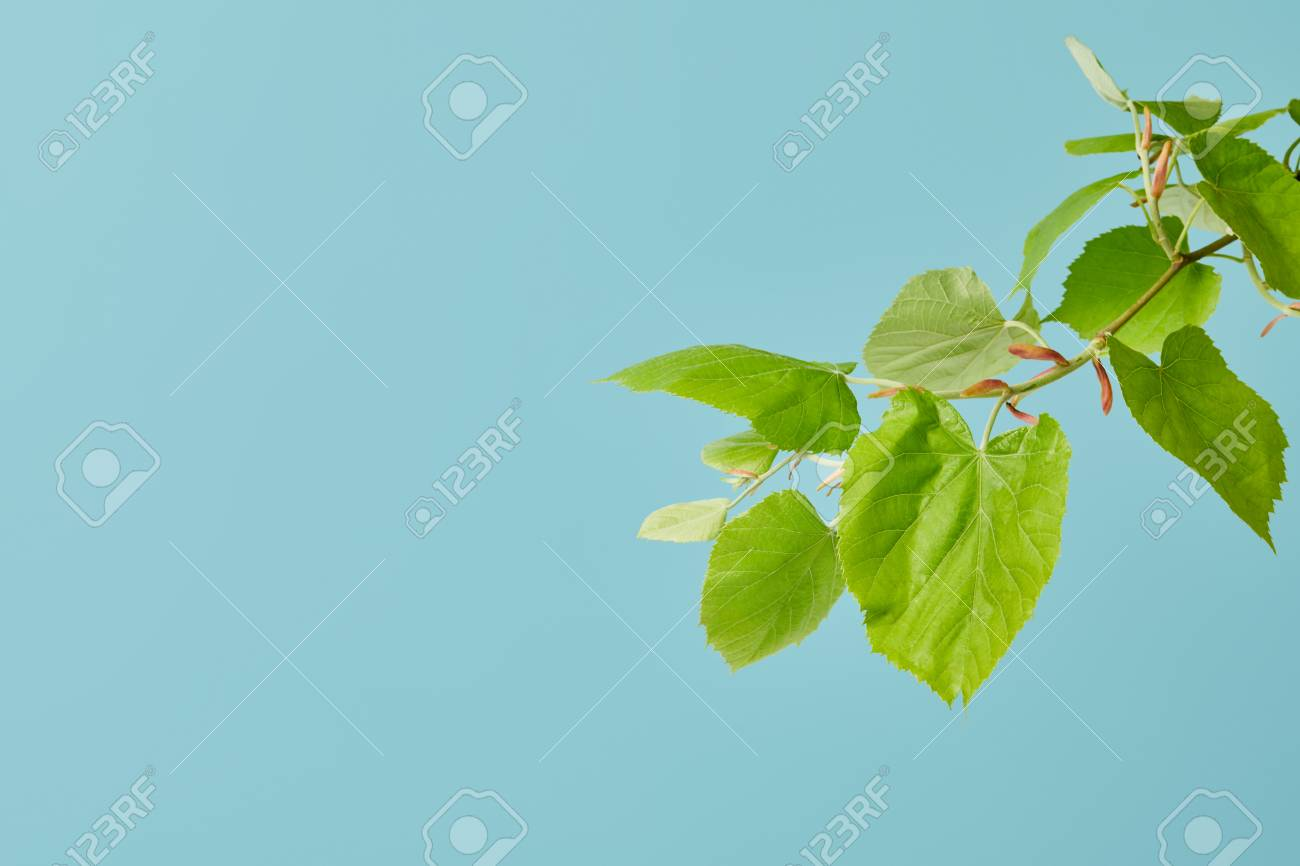 green leaves on tilia branch isolated on blue - 106119976