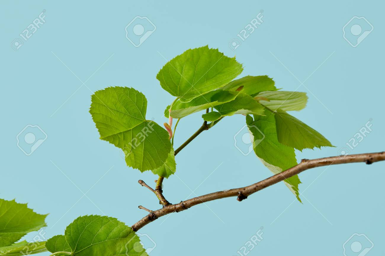 beautiful green leaves on linden branch isolated on blue - 106119827