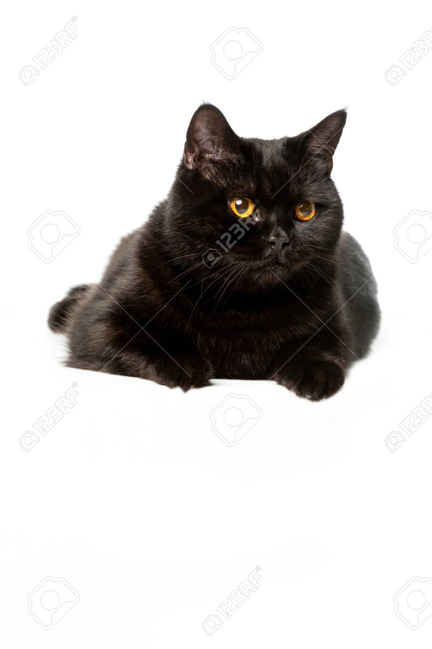 Black British Shorthair Cat Isolated On White Background Stock Photo Picture And Royalty Free Image Image 110527551