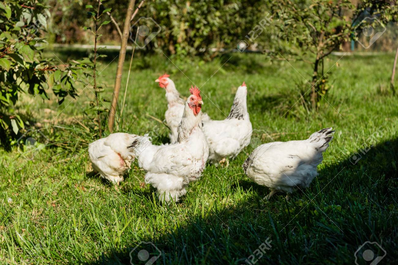 Flock of adorable white chickens walking on grassy meadow at
