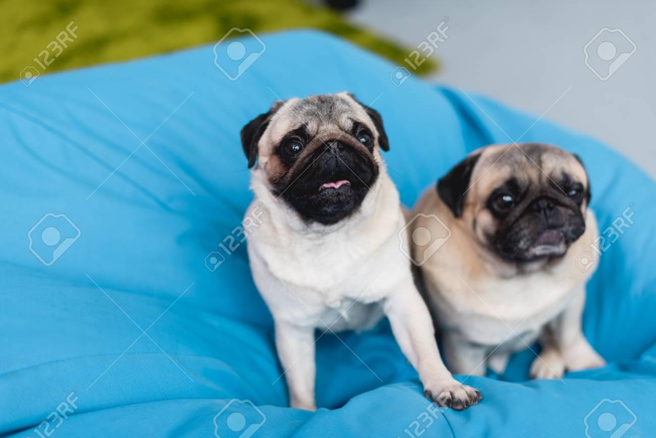 Wondrous Two Cute Pugs On Blue Bean Bag Chair At Home Machost Co Dining Chair Design Ideas Machostcouk