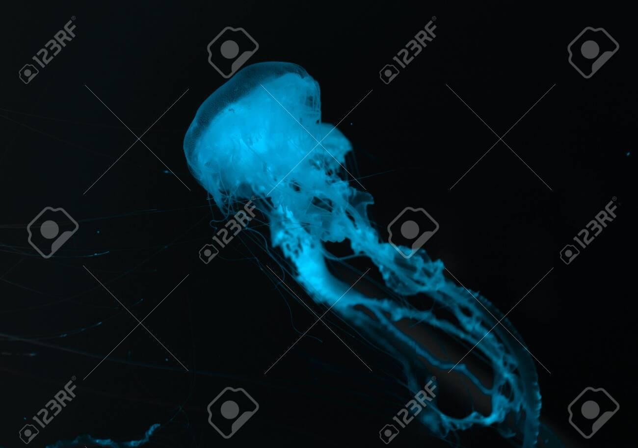 Jellyfish in blue neon light on black background - 135176316