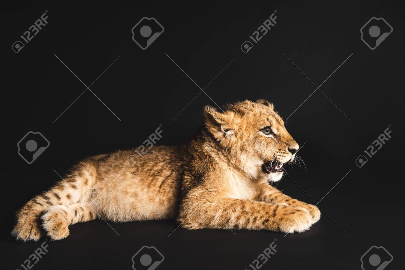 cute lion cub lying isolated on black - 135967843