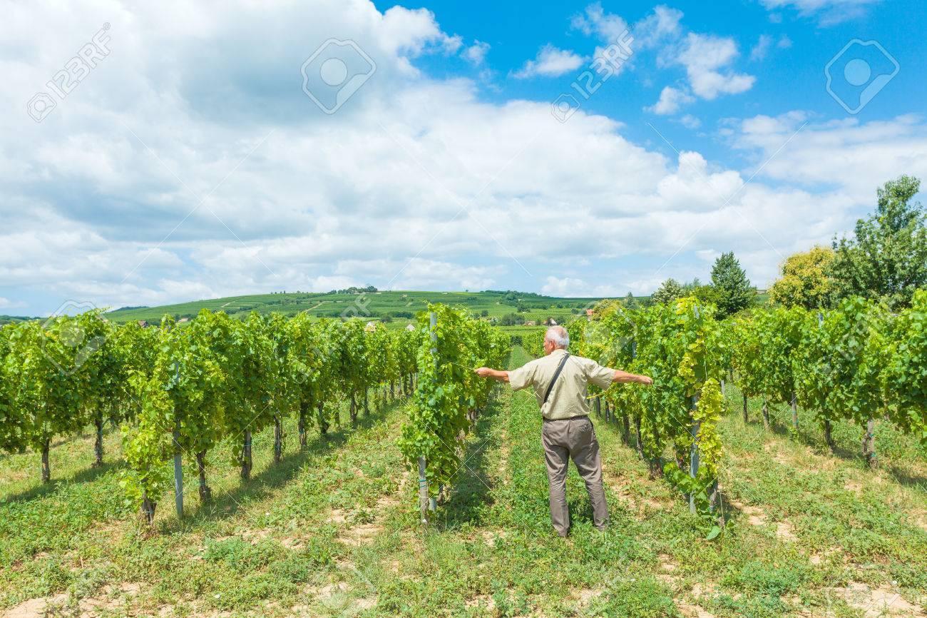 Champ De Vigne ingénieur horticole mesurant la distance entre le champ de vigne
