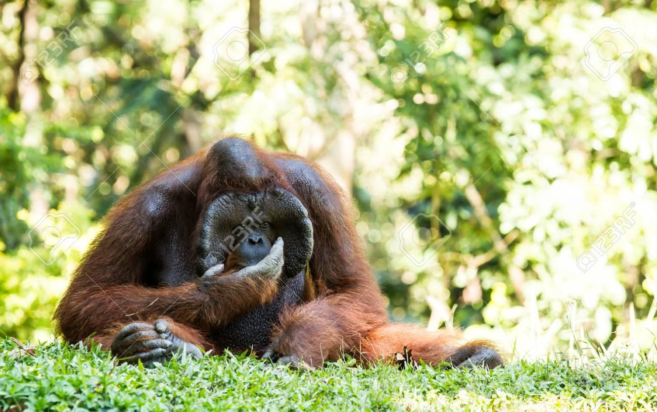 orangutan in chiangmai zoo Thailand Stock Photo - 16796967