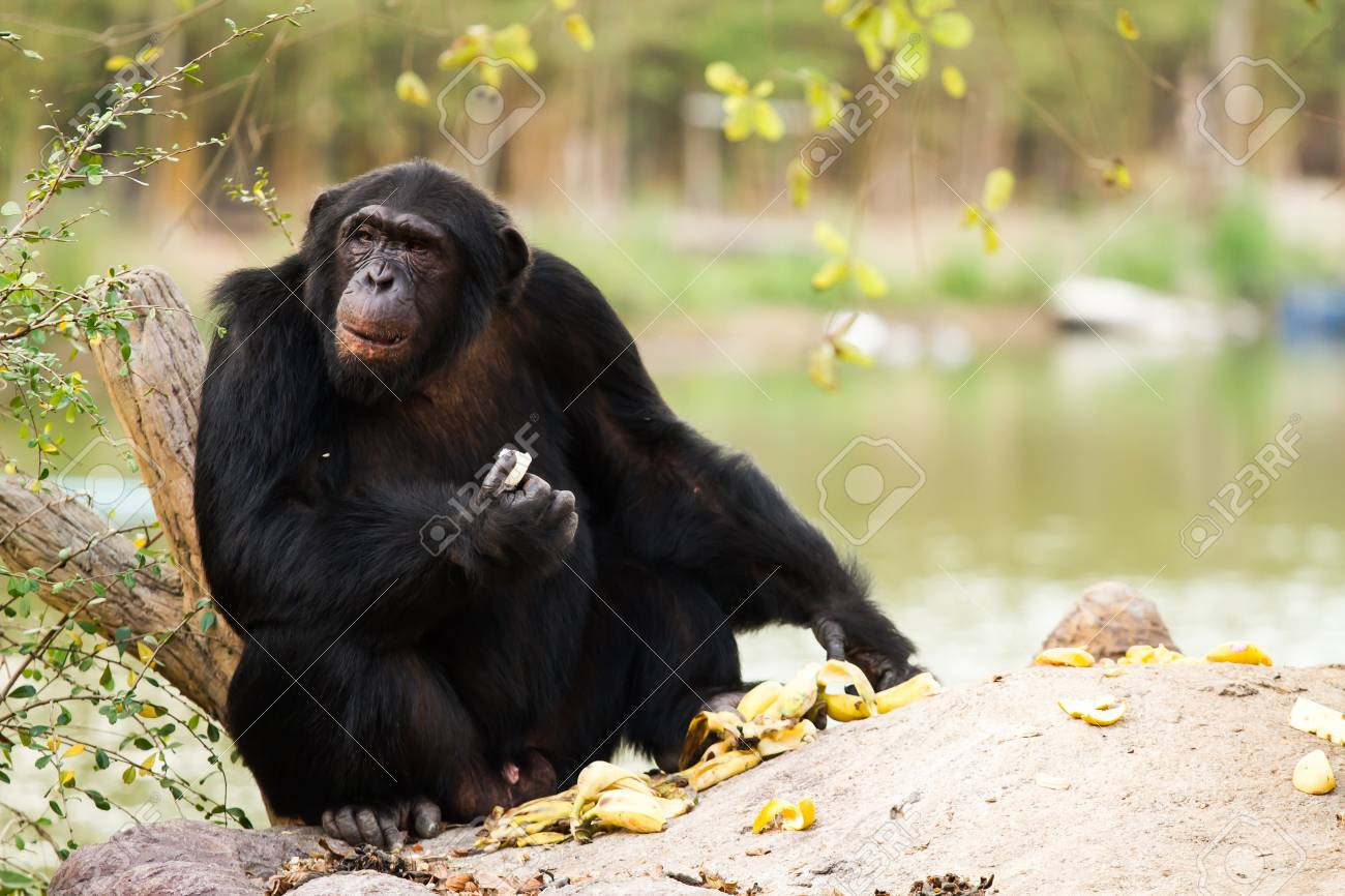 chimpanzee in nightsafari chiangmai Thailand Stock Photo - 18180637