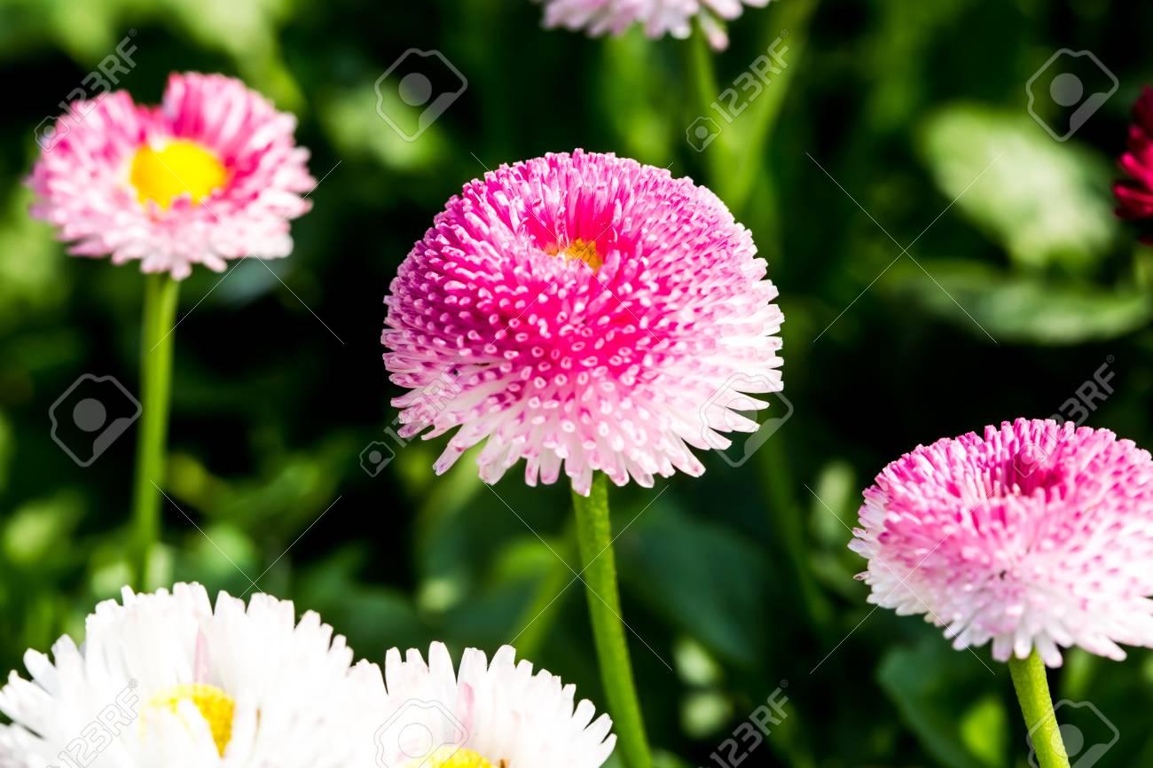 English daisy flowers in chiangmai thailand stock photo picture and english daisy flowers in chiangmai thailand stock photo 26365296 izmirmasajfo