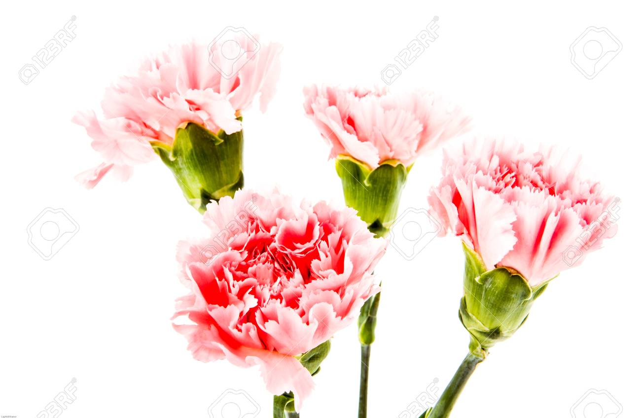 Carnation Flower On White Background Stock Photo Picture And