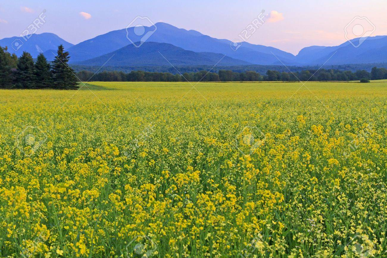 Panoramic view of Mt. Colden, Mt Jo and Wright Peak with a a huge field of yellow Canola Flowers in the foreground in the High Peaks region of the Adirondack Mountains of New York - 11545872