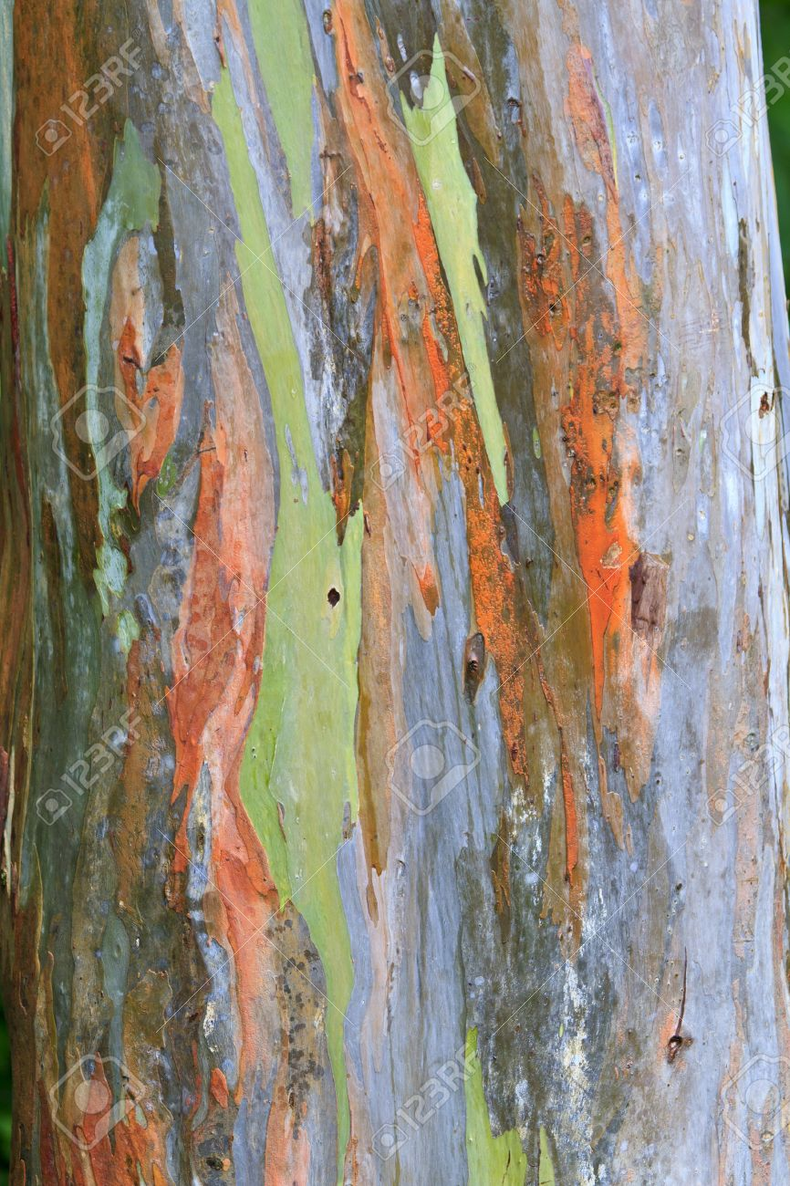 The Multi Colored Bark Of A Eucalyptus Tree Looks Like An Abstract