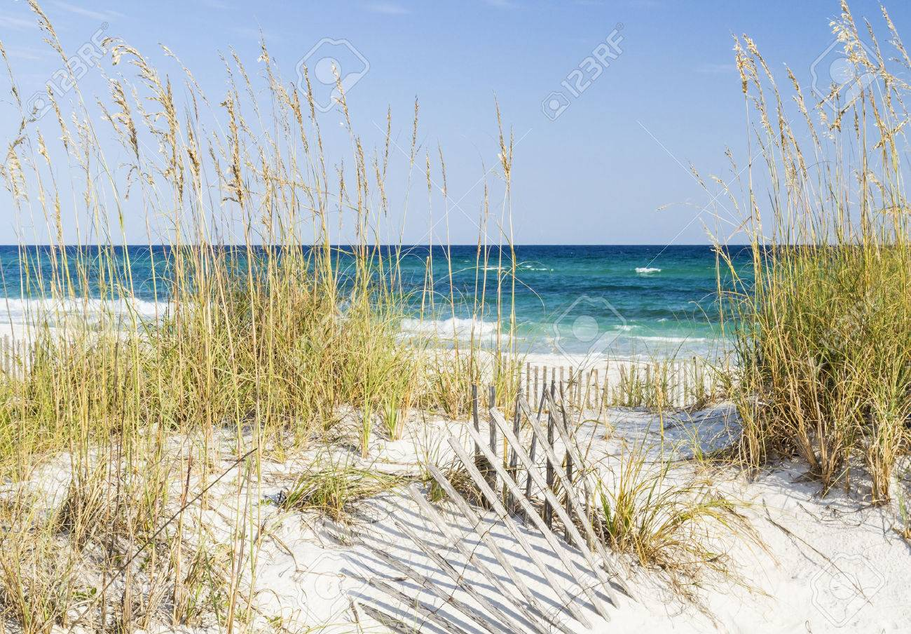 Dune fence and sea oats on the dunes at Pensacola Beach, Florida on Gulf Islands National Seashore. - 31730392
