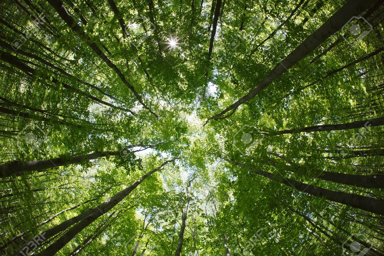 spring forest treetops - beech canopy - 9692144