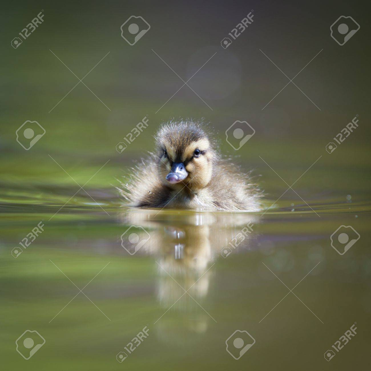 cute little duckling swimming in water Stock Photo - 9696858
