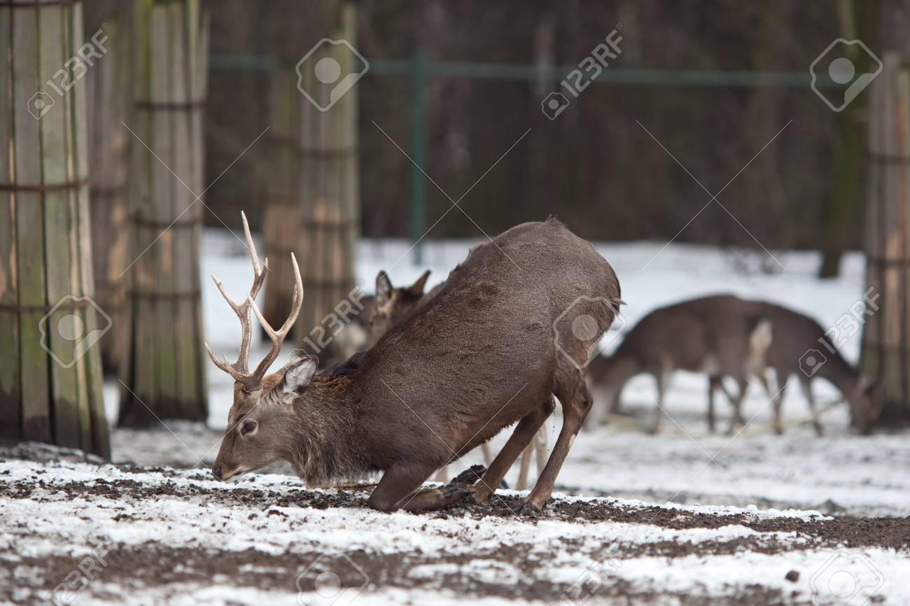sika deer (lat. Cervus nippon) Stock Photo - 9795678