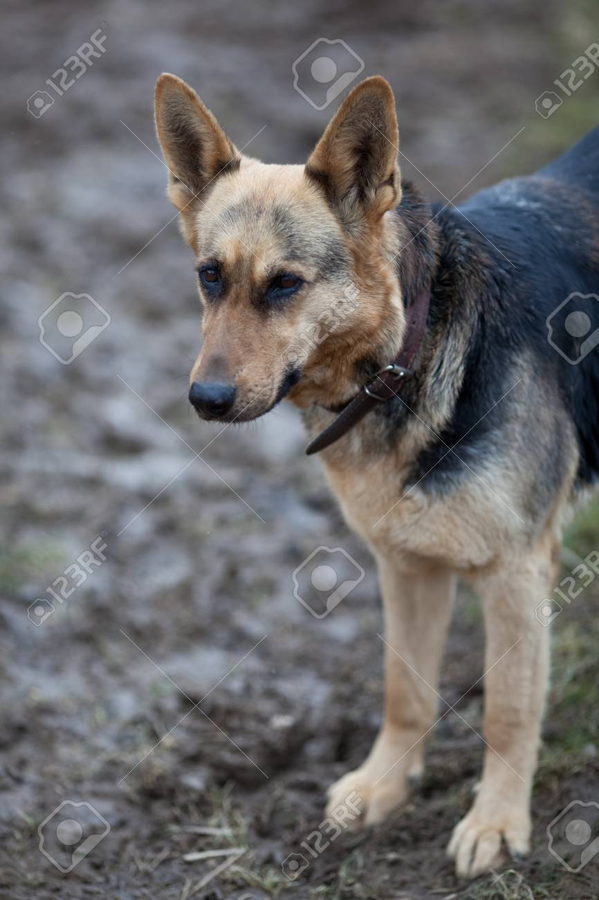 German shepherd Stock Photo - 9795556